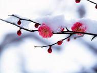 正月梅花香又香