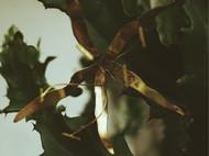 植物图鉴系列~第一朵花 文殊兰