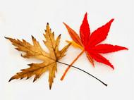 绣一片秋叶