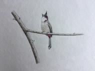 身边的鸟儿-洋葱头