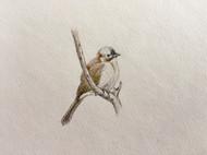 彩铅素描-小鸟