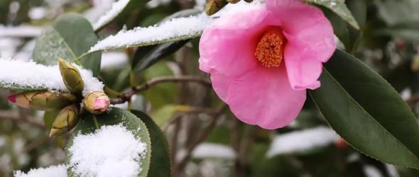 大雪天 迎雪盛开的山茶花