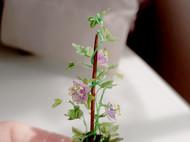 微缩西番莲盆栽