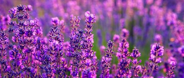 芳香疗法精油入门首选——万能的薰衣草