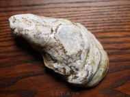 生蚝壳里面的小金龙