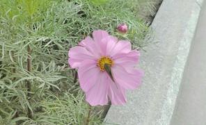 路边的花儿可以拍一拍,波斯菊美