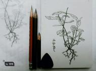 植物学家的情书系列//元宝草