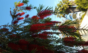#bottletree##澳洲