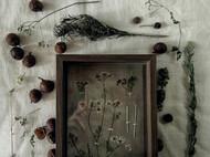 标本摆件//悬浮之野//芫荽Coriandrum sativum L.