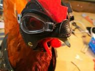 皮衣皮帽一只鸡