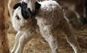 小羊的证件照