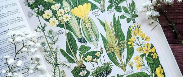 旧书籍里的植物插图