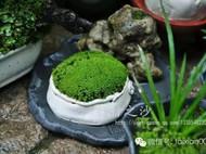 行行之沙的苔藓小景、小盆景、苔藓微景观