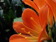 君子兰花与种子