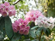 纸艺美容杜鹃和栎叶杜鹃