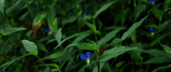 野花染色 - 日本友禅染中属于鸭跖草的一抹蓝